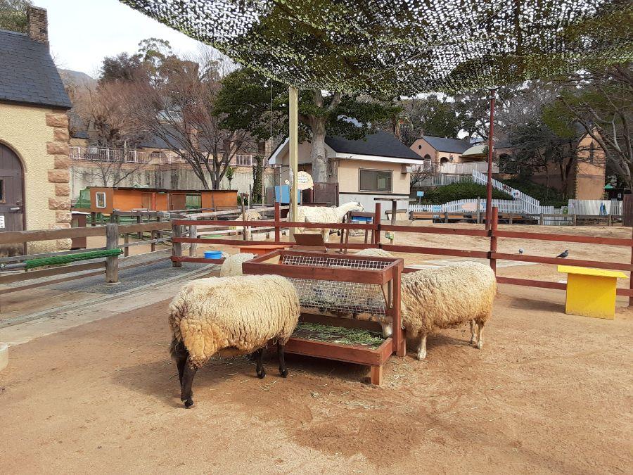 エサを食べる羊たち