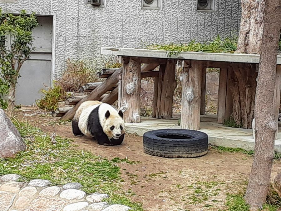パンダが歩く様子
