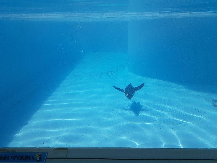 ペンギンが泳ぐ様子