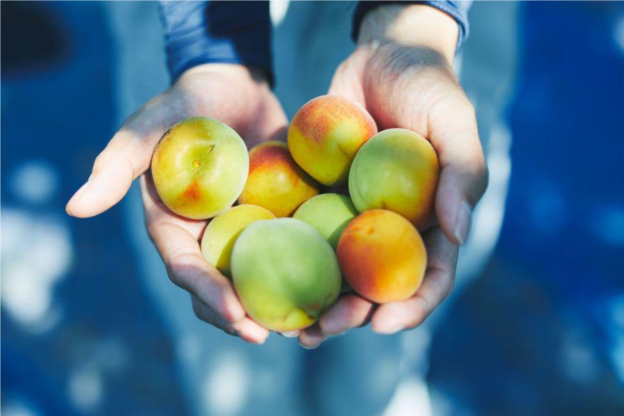 両手いっぱいの梅