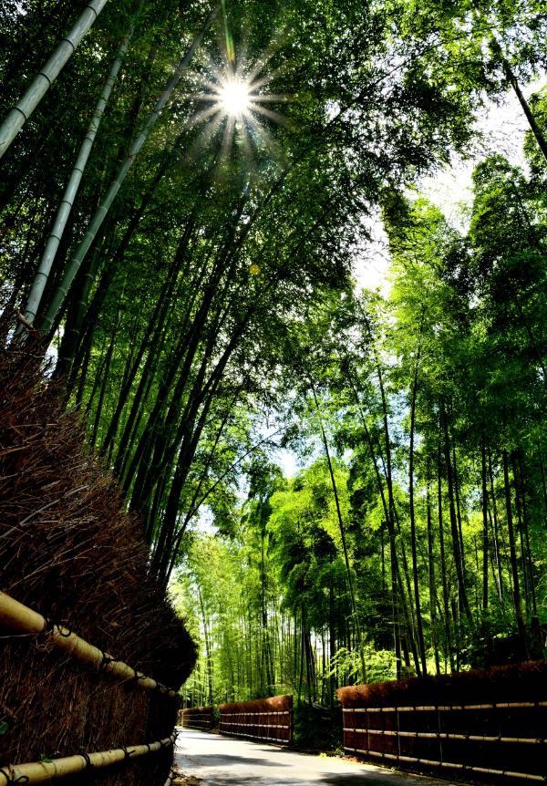 日が差し込む竹の道