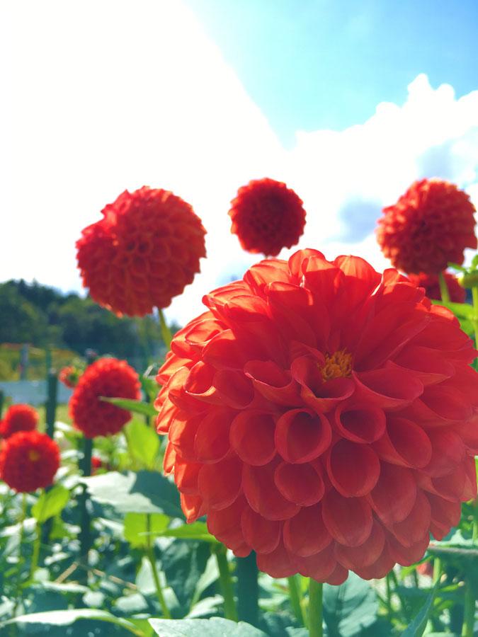 黒川ダリア園の花々