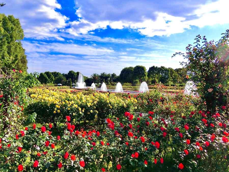 須磨離宮公園の秋のバラ園